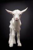 一只逗人喜爱的幼小白色山羊的画象 库存图片