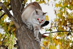 一只逗人喜爱的暹罗猫从树上升下来 免版税库存照片