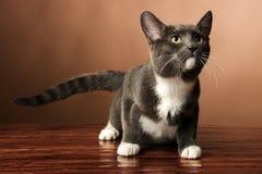 一只逗人喜爱的棕色白色小猫 免版税库存照片
