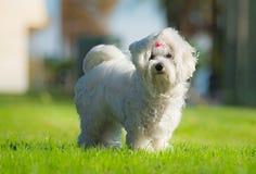 一只逗人喜爱的母马耳他狗 库存图片