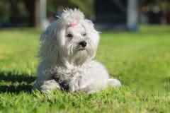 一只逗人喜爱的母马耳他狗 免版税图库摄影