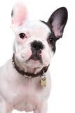 一只逗人喜爱的法国牛头犬小狗的特写镜头图片 免版税库存照片