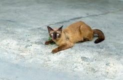 一只逗人喜爱的泰国猫,叫看照相机的暹罗猫做与水泥的一张严肃的面孔难倒背景,选择聚焦 免版税库存照片