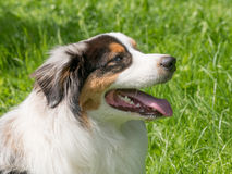 一只逗人喜爱的澳大利亚牧羊犬的顶头画象 免版税库存图片