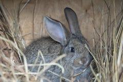 一只逗人喜爱的灰色兔子 库存图片