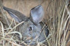 一只逗人喜爱的灰色兔子 免版税图库摄影