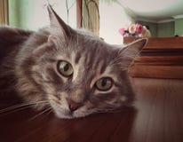一只逗人喜爱的灰色猫的面孔 免版税图库摄影
