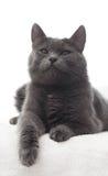 一只逗人喜爱的灰色猫的画象 库存图片