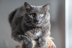 一只逗人喜爱的灰色猫说谎在阳光下` s发出光线并且严重看入 免版税库存照片
