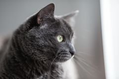 一只逗人喜爱的灰色猫说谎在阳光下` s发出光线并且看起来去周道 图库摄影