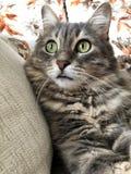 一只逗人喜爱的灰色虎斑猫 库存图片