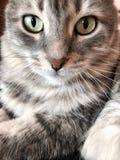 一只逗人喜爱的灰色虎斑猫 免版税库存图片