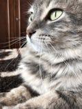 一只逗人喜爱的灰色虎斑猫 免版税图库摄影