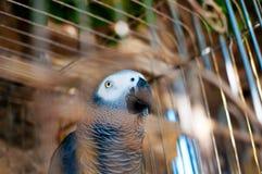 一只逗人喜爱的灰色鹦鹉的图片在笼子的 库存图片