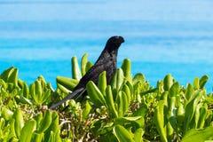 一只逗人喜爱的热带黑鸟 库存照片