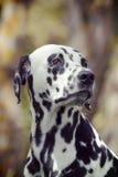 一只逗人喜爱的狗达尔马提亚狗的被定调子的画象 免版税库存照片