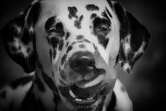 一只逗人喜爱的狗达尔马提亚狗的黑白画象 免版税库存照片