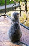 一只逗人喜爱的猫坐有wrought-iron篱芭的阳台,与一温暖的秋天天并且看在街道上 要走 免版税库存图片