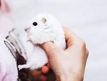 一只逗人喜爱的白色仓鼠在女孩的手上 库存照片