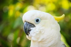 一只逗人喜爱的白色美冠鹦鹉在绿色森林背景中 硫磺哥斯达黎加 免版税库存图片