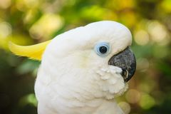 一只逗人喜爱的白色美冠鹦鹉在绿色森林背景中 硫磺哥斯达黎加 库存照片