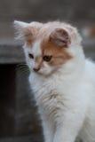 一只逗人喜爱的白色&橙色小猫 免版税库存图片