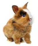 一只逗人喜爱的矮小的棕色兔子 库存图片