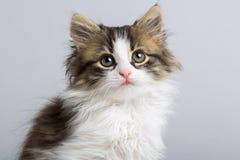 一只逗人喜爱的矮小的蓬松小猫的画象与蓝眼睛的在灰色背景在演播室 免版税库存图片