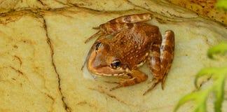 一只逗人喜爱的矮小的镶边棕色青蛙 免版税库存照片
