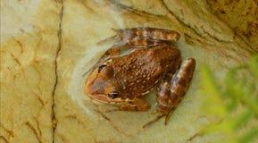 一只逗人喜爱的矮小的镶边棕色青蛙 库存图片