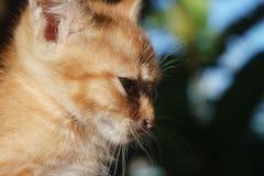 一只逗人喜爱的矮小的黄色猫 免版税库存照片