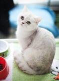 一只逗人喜爱的空白猫的纵向。 免版税库存照片