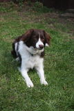 一只逗人喜爱的红色和白色西班牙猎狗大牧羊犬十字架宠物工作犬 免版税库存图片