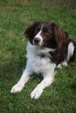 一只逗人喜爱的红色和白色西班牙猎狗大牧羊犬十字架宠物工作犬 免版税库存照片