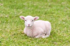 一只逗人喜爱的羊羔在草在 免版税图库摄影