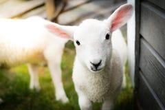 一只逗人喜爱的羊羔的Potrait 库存图片