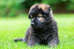 一只逗人喜爱的老德国牧羊犬小狗的画象 图库摄影