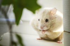 一只逗人喜爱的自创仓鼠坐窗台,吃在面颊以后 库存图片