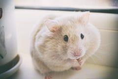 一只逗人喜爱的自创仓鼠坐窗台,吃在面颊以后 库存照片