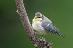 一只逗人喜爱的蓝冠山雀, Cyanistes caeruleus,小鸡在分支栖息 免版税库存照片