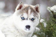 一只逗人喜爱的蓝眼睛的多壳的小狗的冬天画象反对多雪的自然背景的在森林里 免版税库存图片