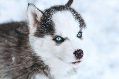一只逗人喜爱的蓝眼睛的多壳的小狗的冬天画象反对多雪的自然背景的 免版税库存图片