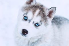 一只逗人喜爱的蓝眼睛的多壳的小狗的冬天画象反对多雪的自然背景的 免版税库存照片