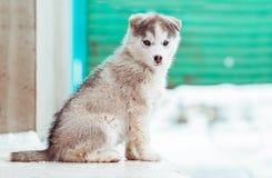 一只逗人喜爱的蓝眼睛的多壳的小狗的冬天画象反对多雪的自然背景的 库存照片