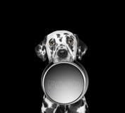 一只逗人喜爱的达尔马提亚狗的画象和他的食物滚保龄球 免版税库存图片