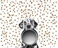 一只逗人喜爱的达尔马提亚狗的画象和他的食物滚保龄球 库存图片