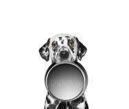 一只逗人喜爱的达尔马提亚狗的画象和他的食物滚保龄球 免版税库存照片