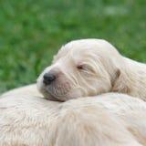 一只逗人喜爱的金毛猎犬小狗的画象 免版税库存图片