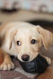 一只逗人喜爱的金黄拉布拉多小狗 免版税库存图片