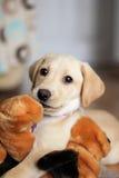 一只逗人喜爱的金黄拉布拉多小狗 库存照片